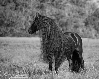 Black Friesian Looks- Fine Art Horse Photograph - Horse - Friesian - Black and White -Fine Art Print