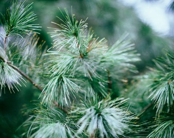 Pine and Rosehip Vitamin C Serum