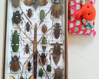 3D Real Rare Big Set Stick Bug Bugs Insect Insects Framed Box Display Taxidermy Spider Gideon Jewel Dung Beetle Cicada Art 5 Horn Entomology