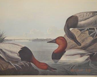 john james audubon canvas backed duck Frame prints