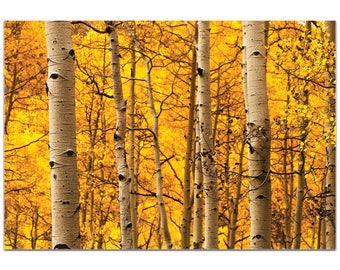 Landscape Photography 'Aspen Gold' by Meirav Levy - Autumn Nature Art Contemporary Aspen Trees Decor on Metal or Plexiglass