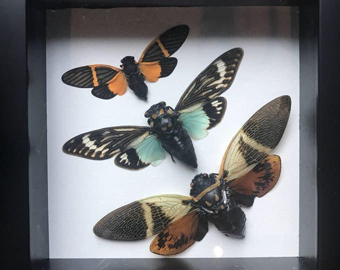 Beautiful taxidermy cicada collection display!
