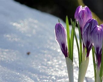 Saffron Crocus seeds,purple white  saffron crocus seeds,crocus of Kozani seeds,183,gardening,