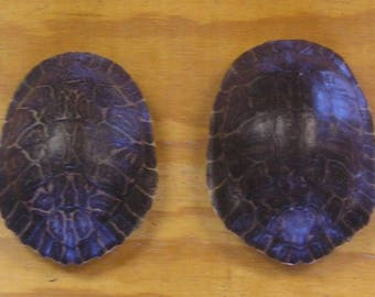 "2 - 7"" River Cooter Turtle Shells"
