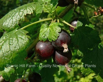 5 Jostine Plants- Thornless! Black Currant and Gooseberry Cross