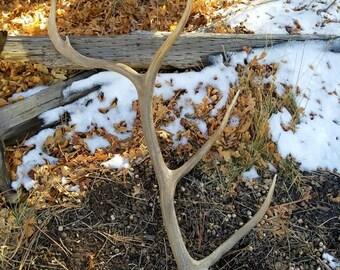 Brown Elk Antler, 6 Point Nontypical Bull. Taxidermy Fresh Sheds; Western Decor, VINTAGE Decor, Home Decor. Shed Antlers, Rustic Deer Antler