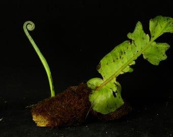 026 Drynaria quercifolia , Polypodiaceae , シダ , oakleaf fern, basket fern