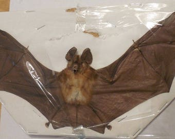 RHINOLOPHUS PUSSILUS Spread Real Bat Taxidermy Fast Ship