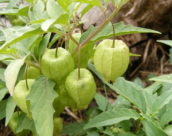 Ground Cherry Seeds, Aunt Molly's Ground Cherry Seeds, physalis peruviana, Fruit Seeds, Vegetable seeds, Heirloom Seeds