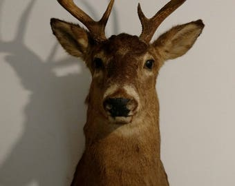 10 Point Buck Deer Shoulder Mount   Taxidermy Mount   Animal Mount   Cabin Hunting   Home Decor