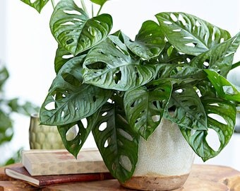"""Monstera friedrichsthalii """"Swiss Cheese Vine"""" - Easy to Grow Tropical Plant Houseplant or Outdoors Fit 1 Quart Pot"""