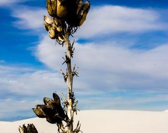 New Mexico Desert Photography, Yucca Flower Whitesands, NM, American West Fine Art Color Southwest Landscape Print