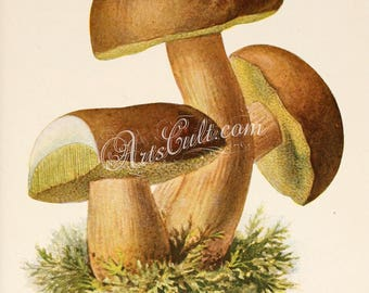 mushrooms-00302 - boletus badius Imleria badia Bay bolete edible pored mushroom Xerocomus badius digital jpg vintage old picture printable