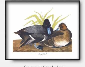Scaup Duck Art, Printable Pair of Birds Home Decor (Instant Download Office Wall Art, Living Room Print jpg) James Audubon