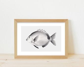 Fish, fish illustration, fish print, fish drawing, greylead fish, greylead drawing, animal illustration, animal drawing, animal ink drawing