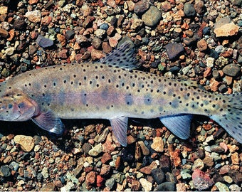 Willow-Whitehorse Cutthroat Trout Giclée Print