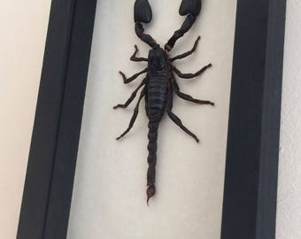 Real scorpion framed - Heterometrus cyaneus