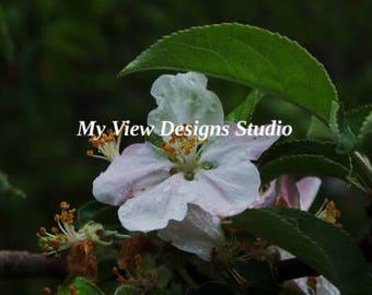 Apple Blossom W/Droplets 1
