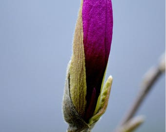 Magnolia Bud with Branch