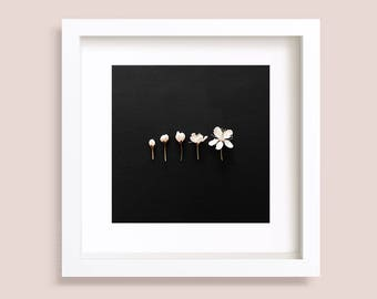 Evolution of a flower on black background, White Blossom, Sakura, Square Art Prints, Botanical wall art gallery, 5x5, 8x8, 9x9, 10x10, 12x12