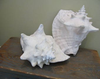 LARGE Weathered Pair Queen Conch Seashells Salvaged From Southern Farm, Cabinet Curiosities  Rippled Thick Details Patina Shell Beach Decor