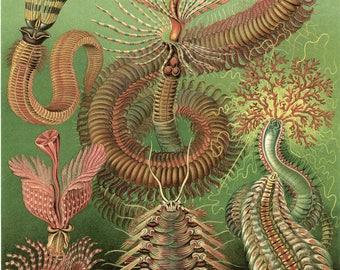 Fine Art Reproduction. Art Forms in Nature: Ernst Haeckel. Chaetopoda, 1899. Fine Art Print.