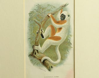 Antique Lemur print, Ape Primate Monkey, Coquerel's sifaka, Lloyd's Natural History, Madagascar