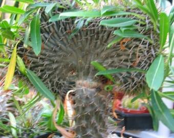 Pachypodium Crested Succulent Plant