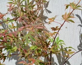 Geisha Gone Wild Japanese Maple Tree