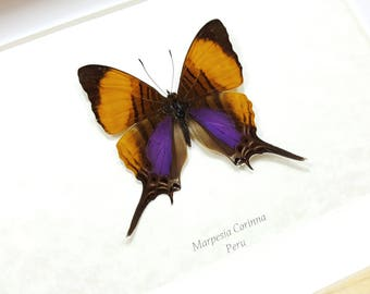 FREE SHIPPING Framed Marpesia Corinna Daggerwing Butterfly Taxidermy High Quality A1