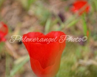 poppy, red, flower,