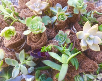 Succulent Burlap Wrapped- Living plants-Assorted Succulents-Cuttings -variety of shapes- do it yourself favors- succulents favors