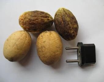 Balanites Aegyptiaca var Indica / Hingota - 1 seed