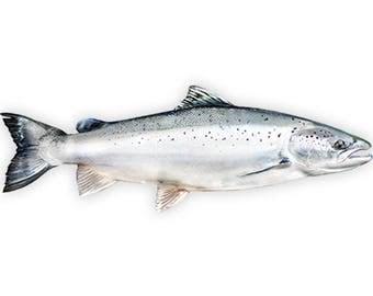 Salmon, Salmon Fishing, Salmon Decal, Salmon Sticker - **Preorder Ships July 14th**