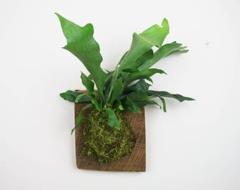Staghorn Fern Mounted on Wood