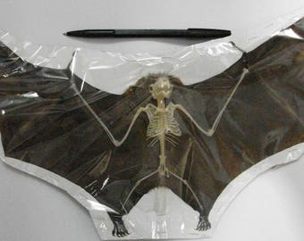 Taxidermy real fruitbat bats semi skeleton