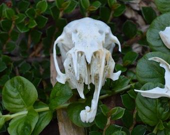 Baby Rabbit Skull with Mandible