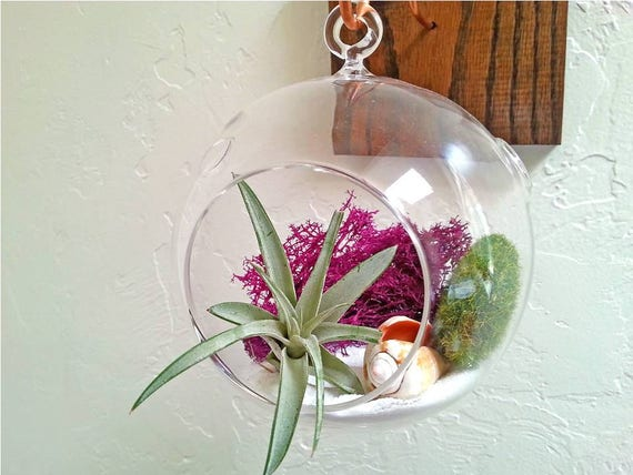 Air plant hanging glass terrarium kit gift ideas for her for Indoor plant gift ideas