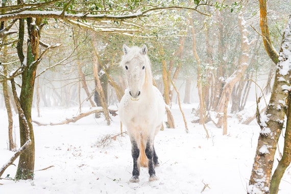 "Horse Print,""SNOW HORSES"", Equine Print, White Horse, New Forest Pony, Animal Print, Dorset print"