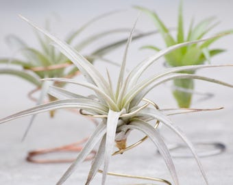 Air Plant Wire Spring Displays // Silver, Gold, and Copper