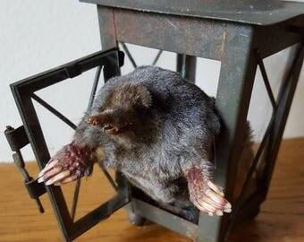 Taxidermy lantern Mole