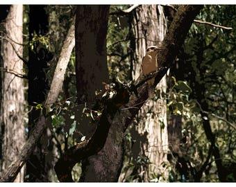 Kookaburra (Digital Painting Giclee Print)