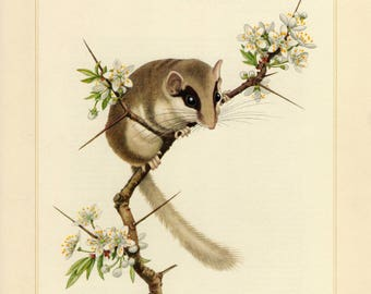 Vintage lithograph of the forest dormouse from 1955