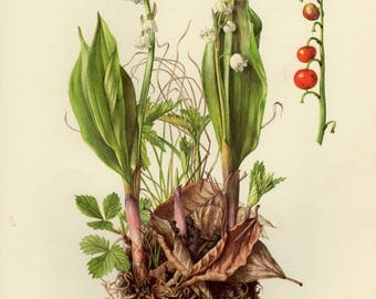 Vintage lithograph of the lily of the valley from 1955