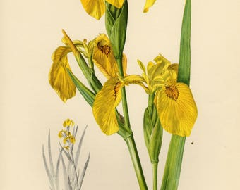 Vintage lithograph of the yellow flag, yellow iris, water flag or lever from 1954