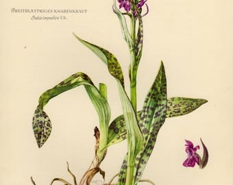 Vintage lithograph of the orchis impudica from 1953