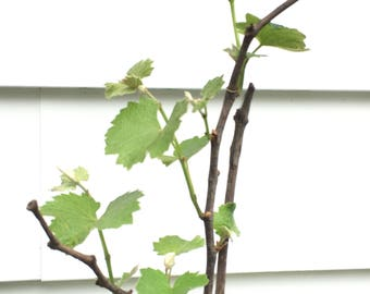 Niagara Grape Vine