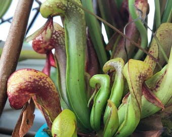 Darlingtonia 25 seeds Cobra lily Carnivorous Plant