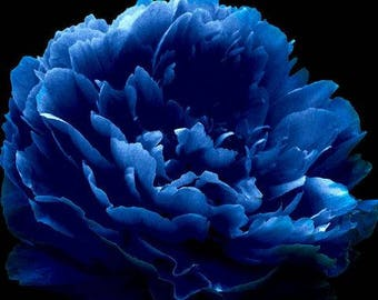 Very Rare  Dark Blue Tree Peony Flower  Professional Pack of  5 Seeds New Variety Light up Your Garden