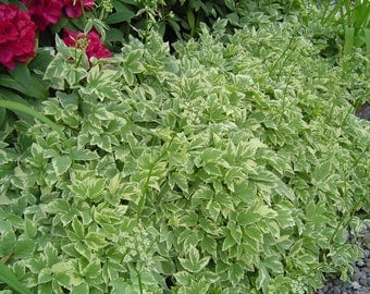 """HeirloomSupplySuccess """"Snow on the Mountain"""" """"Bishop's Weed"""" """"Gout Weed"""" Perennial Seeds"""